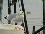 SX00458 Seagull on fishing boat's radar [Herring Gull - Larus Argentatus].jpg